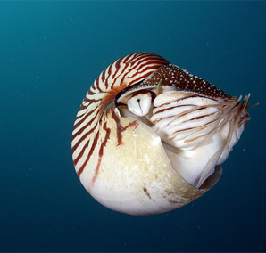 Nautilus by PacificKlaus, on Flickr