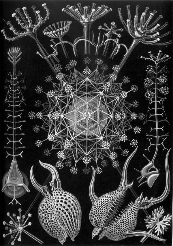 A l'Esperluette. - Page 17 Haeckel_Phaeodaria_61-600x853