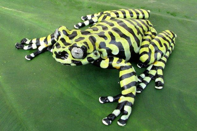 Tiger's tree frog photo by Jonh Jairo Mueses-Cisneros