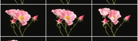 timelapse series of blooming flowers by Ted Kinsmen