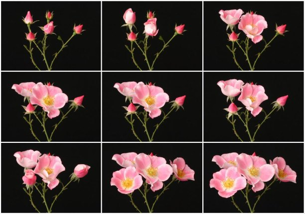 timelapse series of blooming flowers by Ted Kinsmen