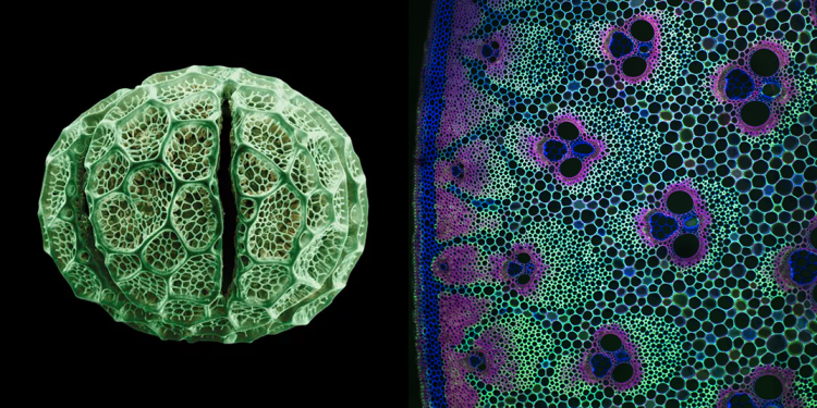 Left: Hermizygia Pollen by Rob Kesseler and Madeline Harley Right: Bambusa cross section by Jim Haselhoff, University of Cambridge (more images here)