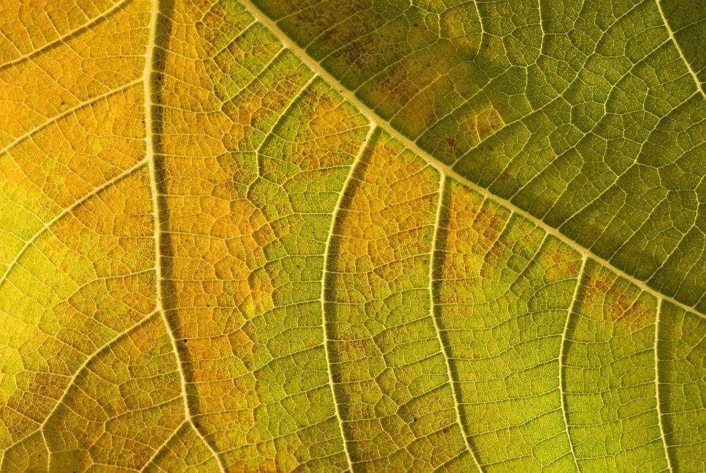 01-leaf-venation.jpg