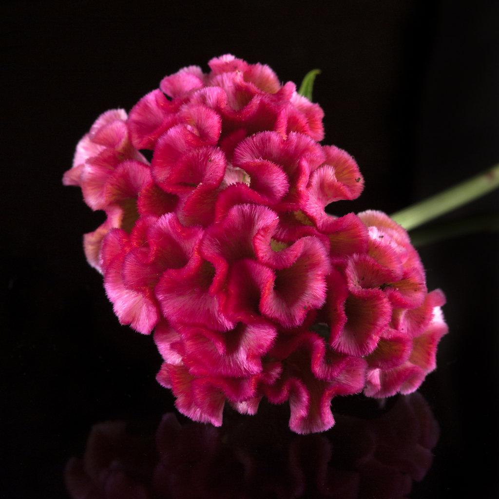 Celosia cristata