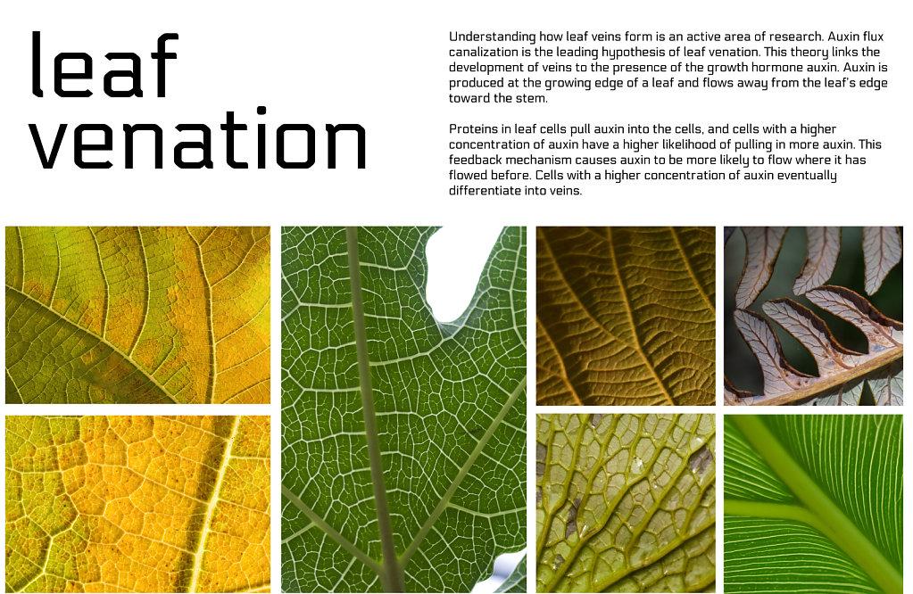 poster: leaf venation 1