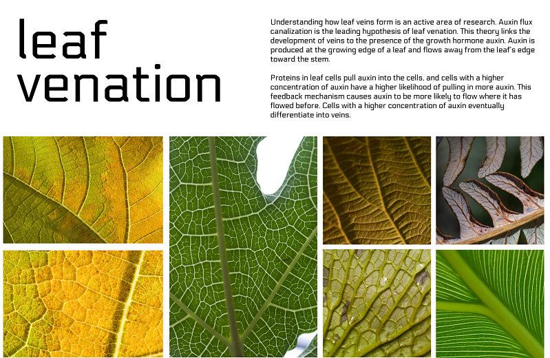 Poster Leaf Venation 1 Nervous System