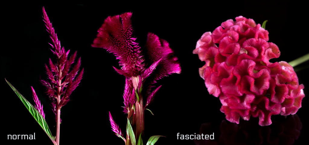 Celosia - normal vs. fasciated