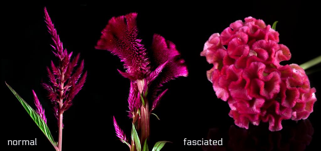 Celosia - normal vs. fasciated