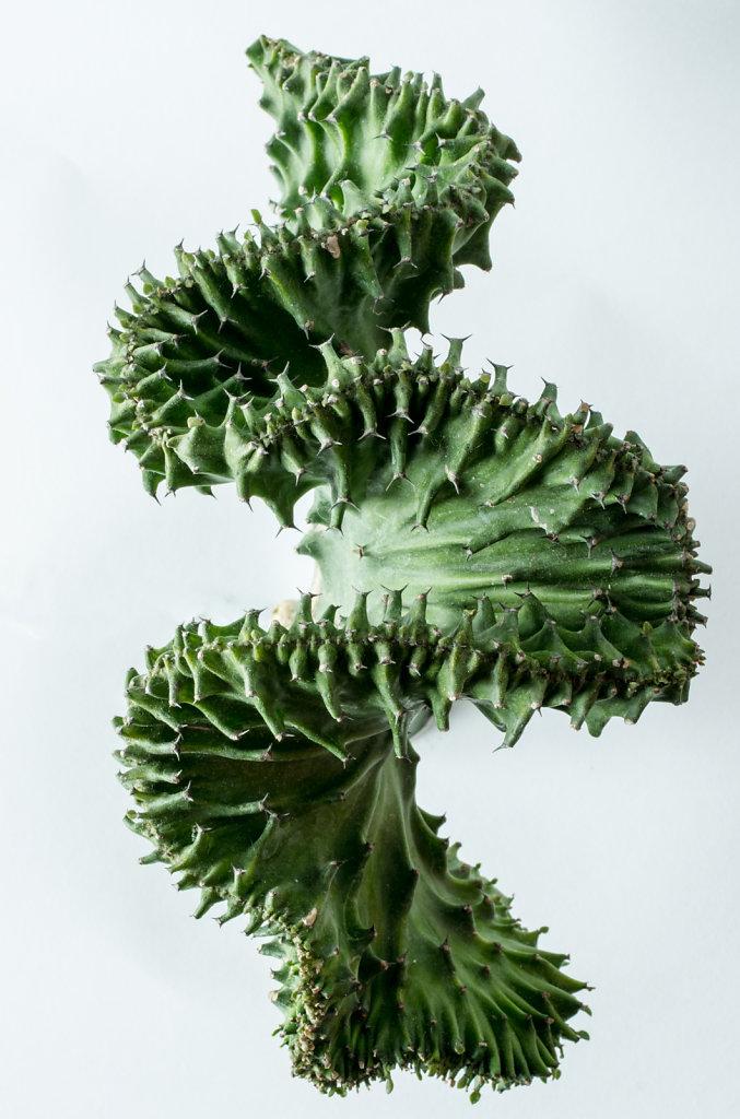 Crested Euphorbia
