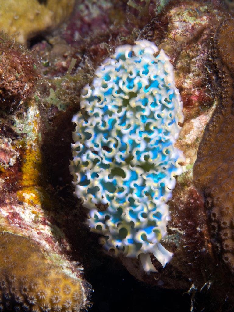 Lettuce Sea Slug (Elysia crispata)