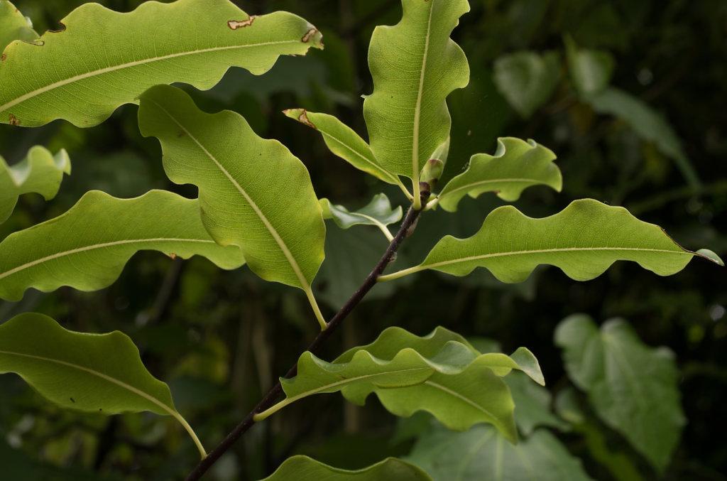 Ruffled Leaf Edges